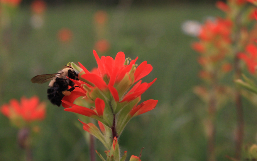 Bee on Indian Paintbrush wildflower