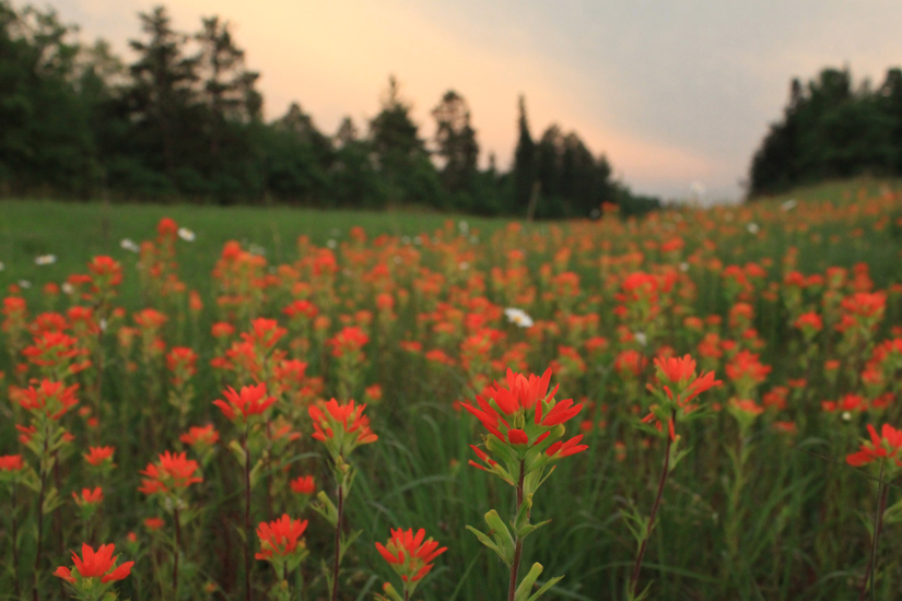 Indian Paintbrush Wild Flowers around Boot Lake