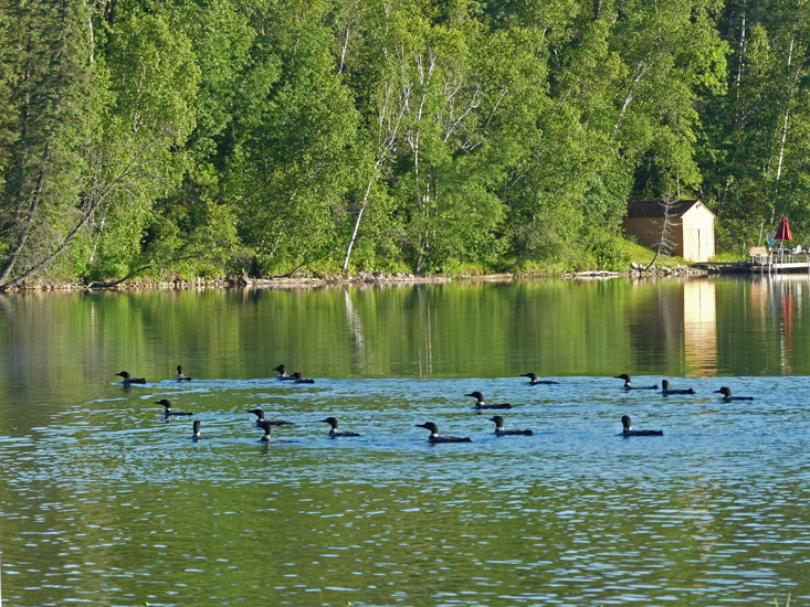 Raft of Loons on Boot Lake in Park Rapids, MN