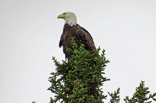 Eagle-in-pine