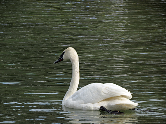 swans-3