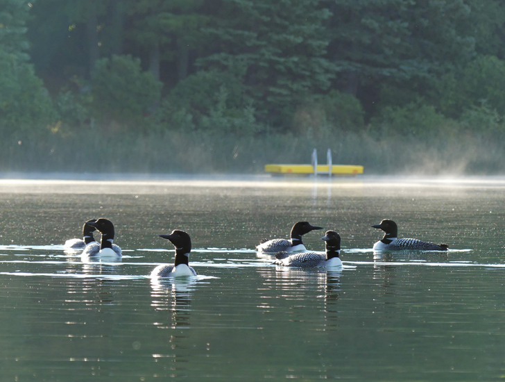 Raft pf Loons on Boot Lake in Park Rapids, MN